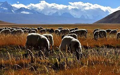 【昆仑山下】游走的羊群