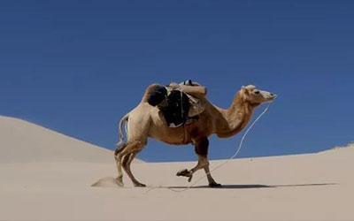 生命的互慰|骆驼与骆驼刺