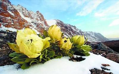 雪莲|雪线上的朵朵精灵